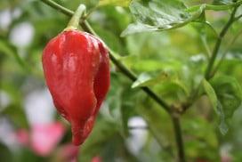 habanero-plant